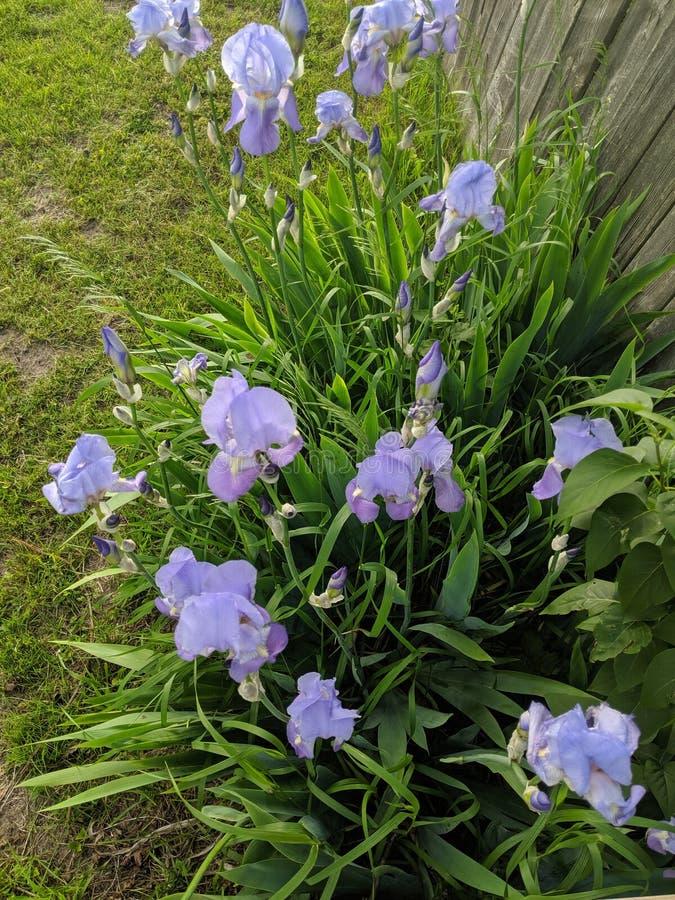 Iris in bloei stock foto