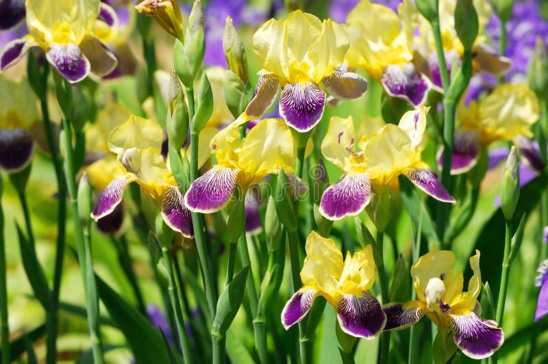 Iris bloom. Closeup of iris bloom in garden royalty free stock photo