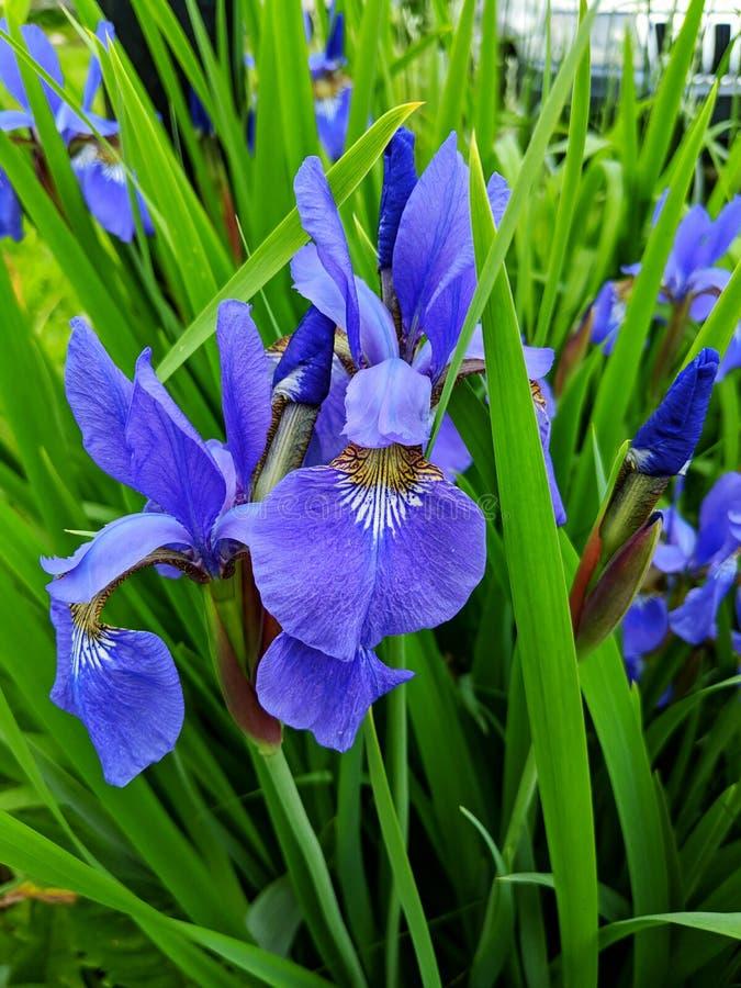 Iris in bloom. Beautiful spring iris in their glory royalty free stock images