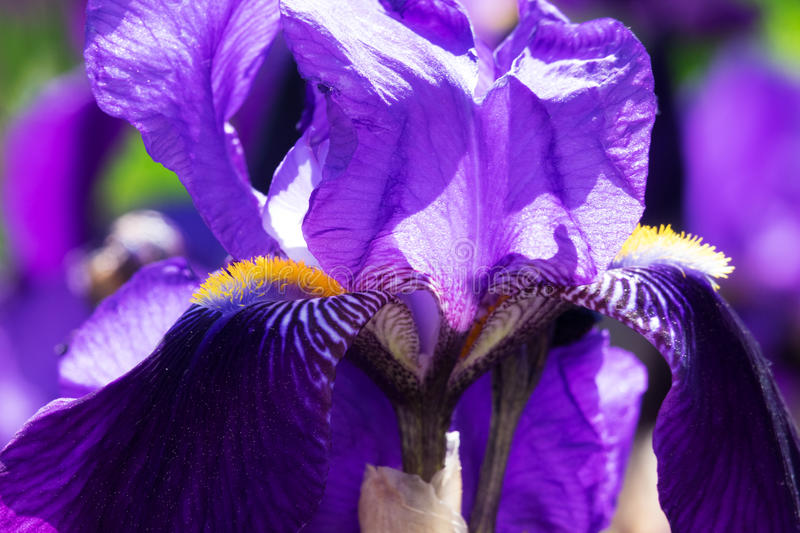 Iris In Bloom royalty free stock image
