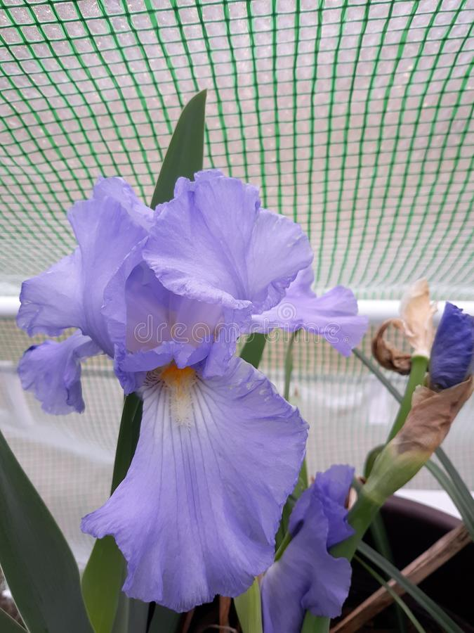 Flora in East Texas Iris 002. Iris in bloom in tent in East Texas near Angelina National Forest 2019 stock photos