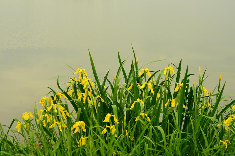 Iris bloom. Yellow irises on the lake shore royalty free stock image
