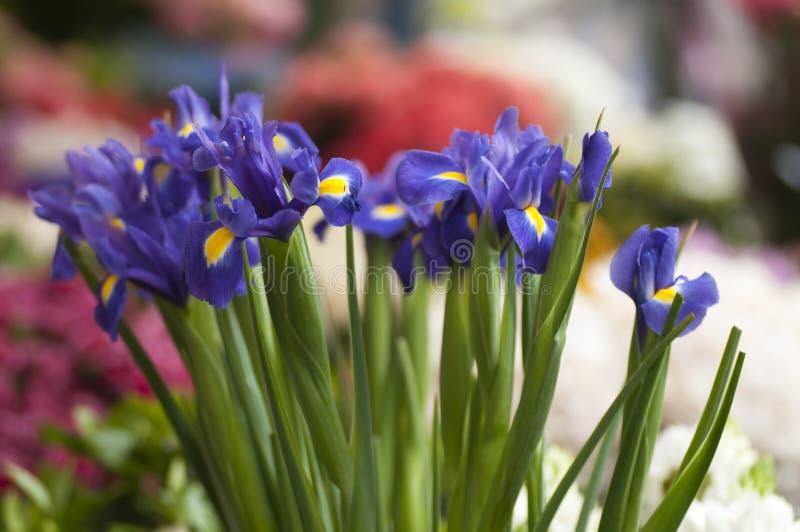 Iris blue flowers. In full bloom stock images
