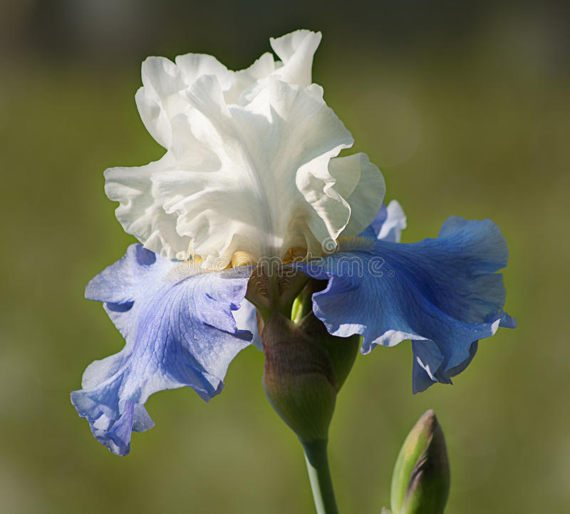 Iris. Blue and white iris with bud on a green background stock images