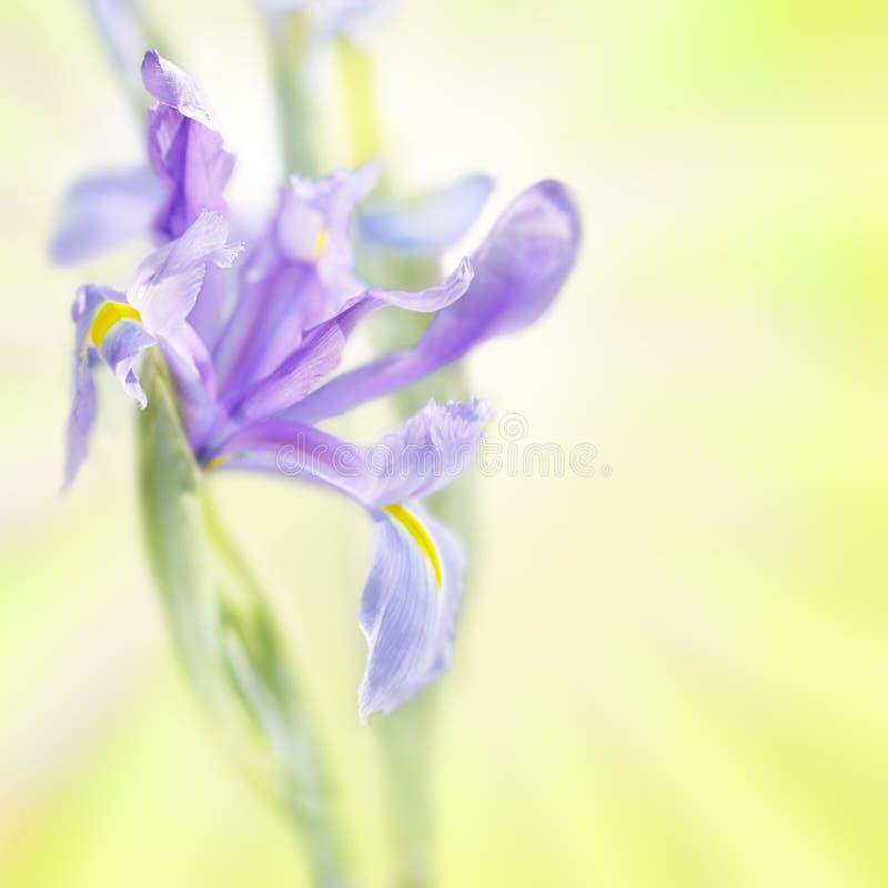 Iris on bright blurry background stock photography