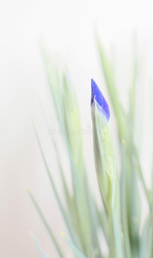 Iris Bud photos libres de droits
