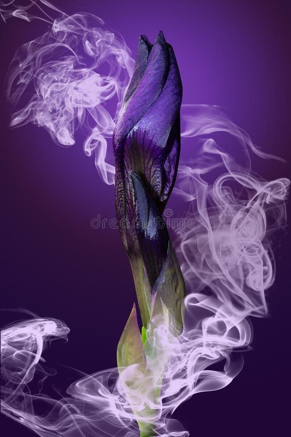 Iris bud in smoke. Purple iris bud in smoke on violet background royalty free stock photos