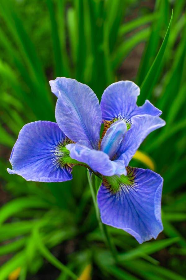 Iris chic de fleur d'été sur un fond vert photos libres de droits