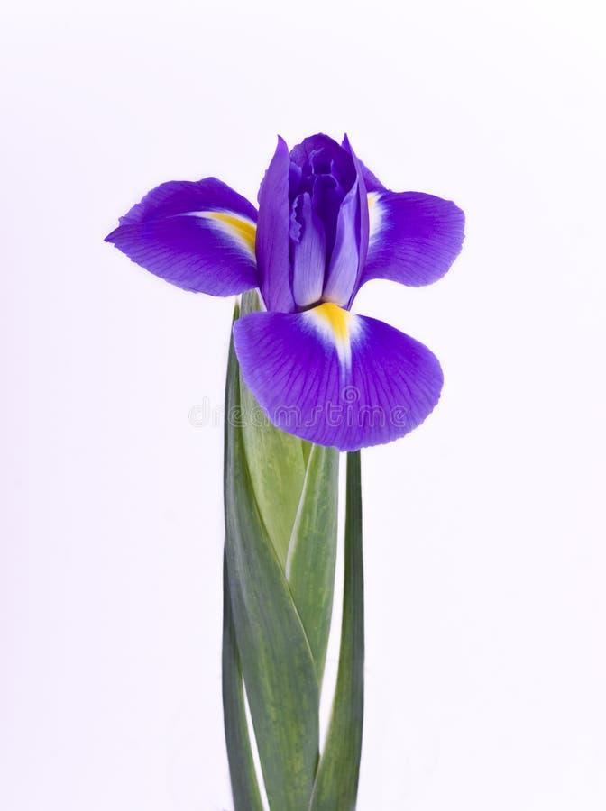 Free Iris Close-up Stock Image - 6717591