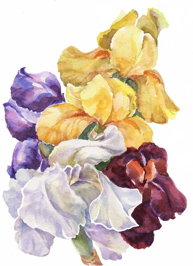 Iris colorés d'aquarelle Illustration d'ouvrage Image florale illustration stock