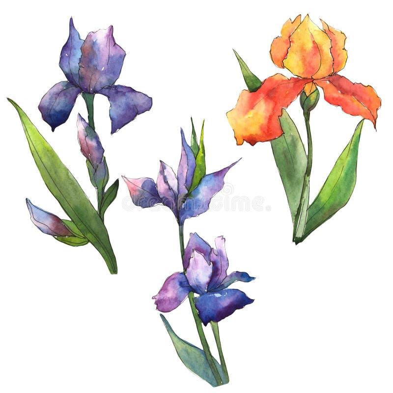 Iris coloridos Flor botánica floral Wildflower salvaje de la hoja de la primavera aislado libre illustration