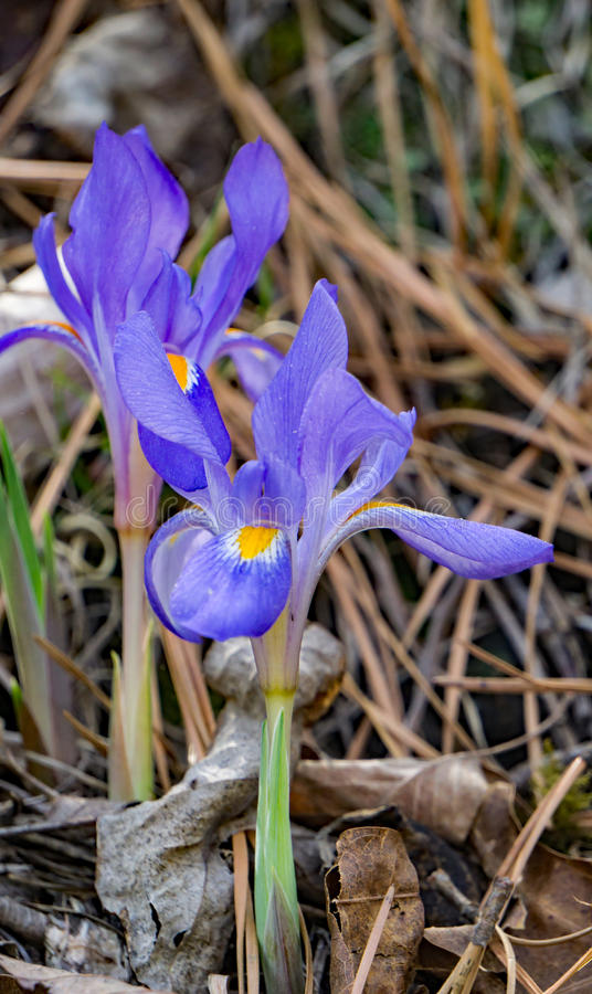 Iris con cresta enano - cristata del iris foto de archivo