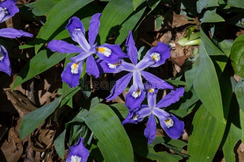 Iris con cresta enano en la floración imagen de archivo libre de regalías