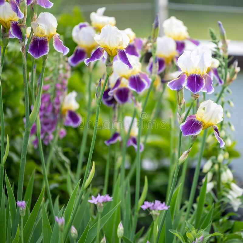 Iris with creme-white, yellow and violet colors flowering in spring garden with foxglove and perennial plants stock images