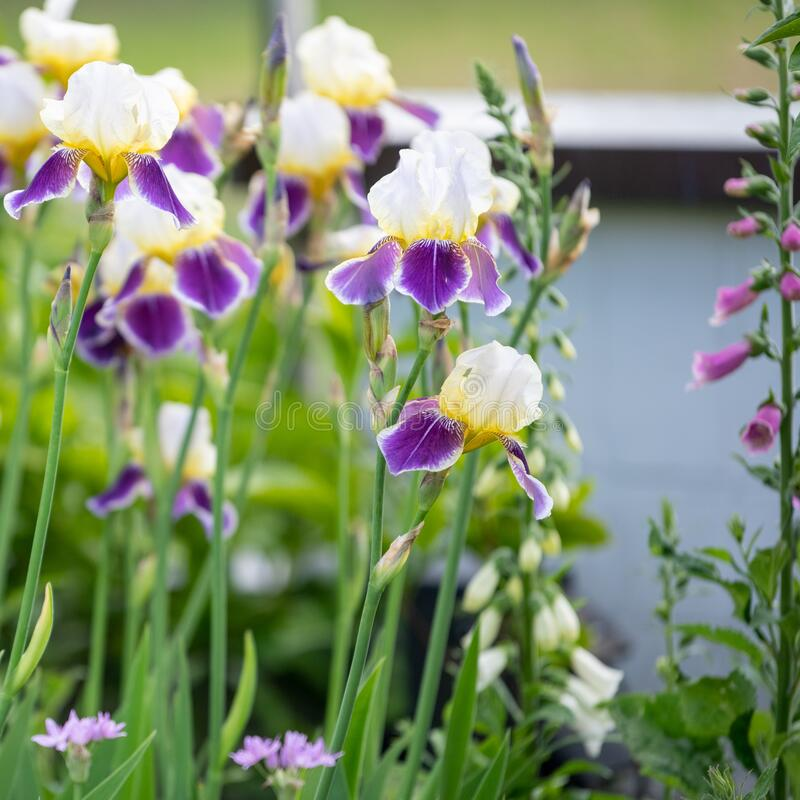 Iris with creme-white, yellow and violet colors flowering in spring garden with foxglove and perennial plants stock photo