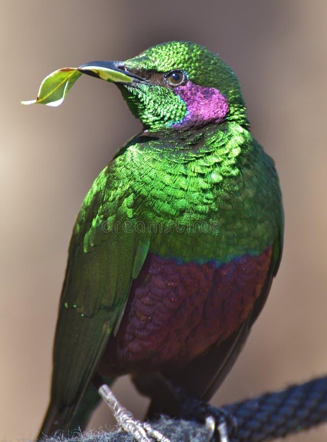 Iris d'Emerald Starling Lamprotornis photo libre de droits