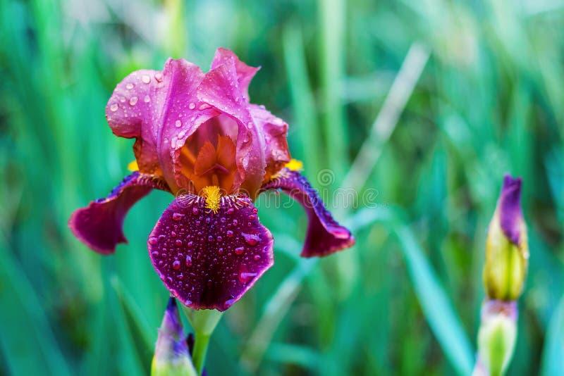 Iris de claret et de couleur lilas sur un background_ vert photographie stock