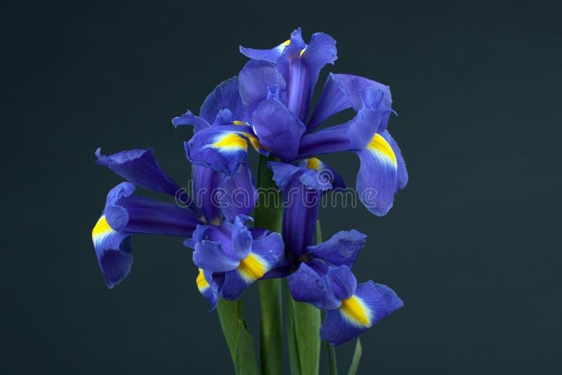 Iris de fleur photographie stock libre de droits