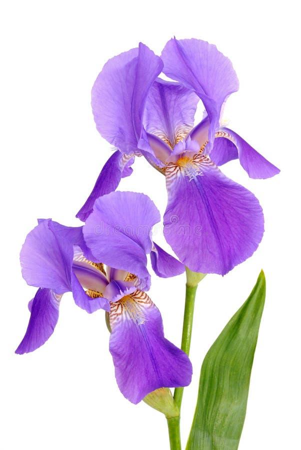 Iris de fleur images stock