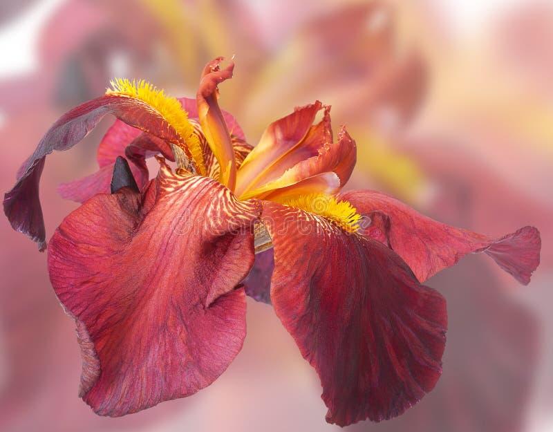 Iris de fleur de Bourgogne image libre de droits