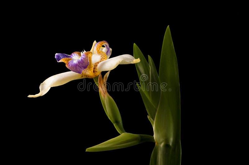 Iris de floraison sur le noir photos stock