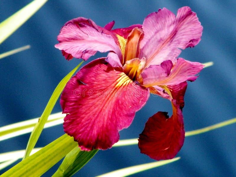 Download Iris 2011 De L'eau De Tel Aviv Image stock - Image du été, nature: 45363931
