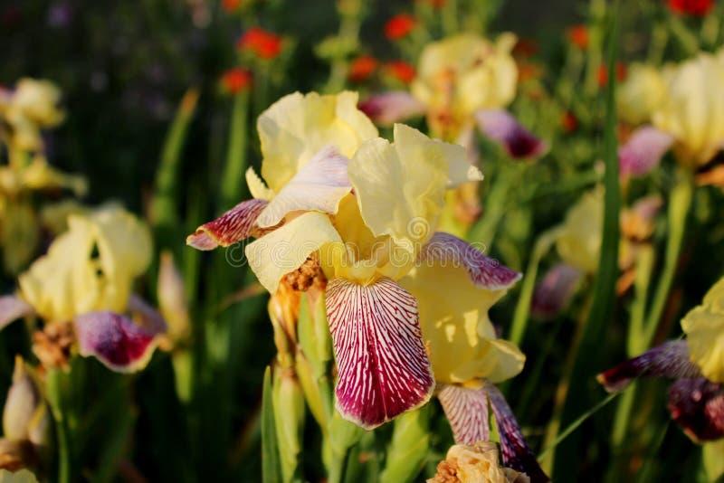 Iris de las flores imagenes de archivo