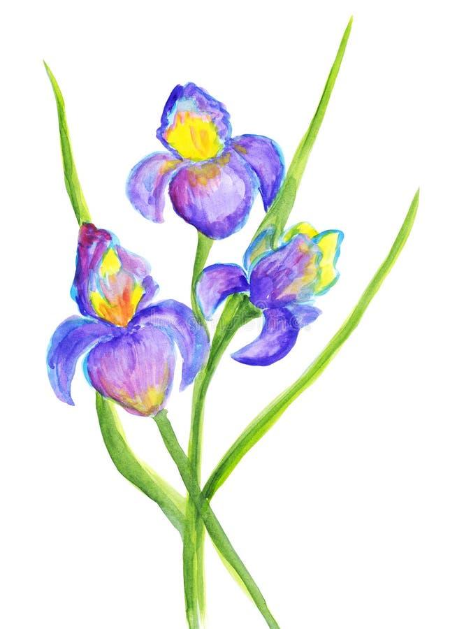 Iris de lujo de la acuarela Apenas llovido encendido stock de ilustración