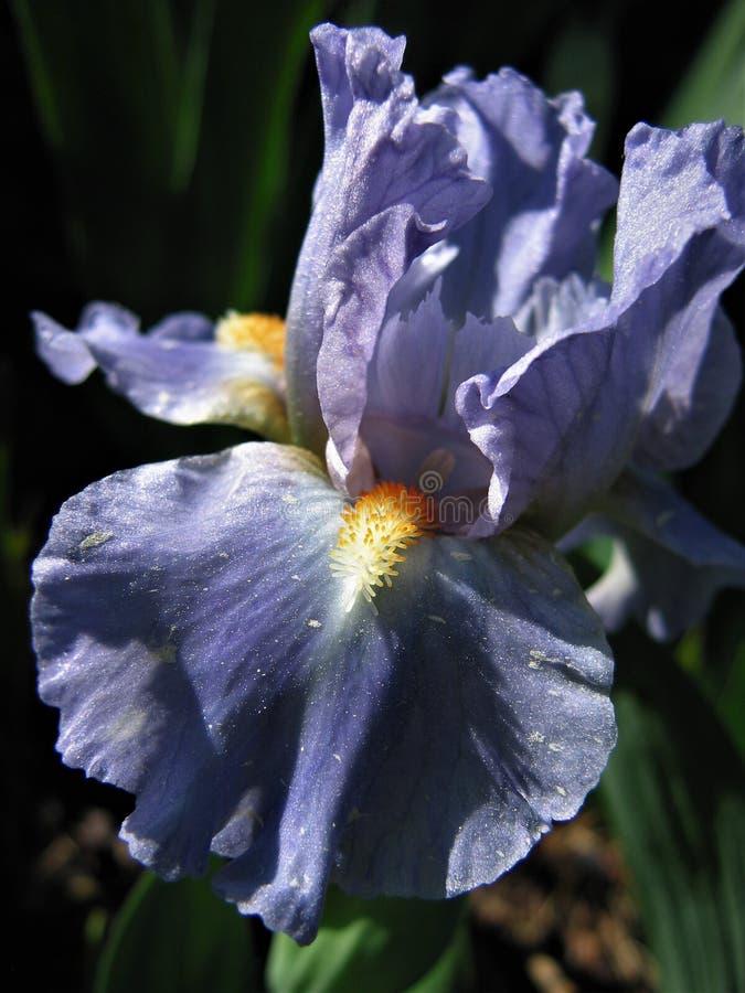 Iris de Purpl photographie stock libre de droits