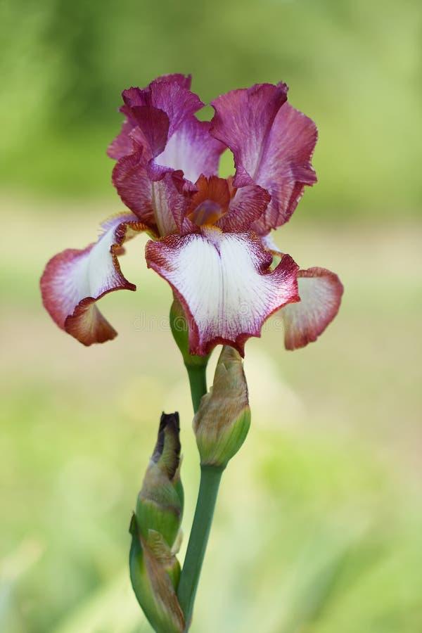 Iris de sorte de Bazar de Slavyanskyi images libres de droits