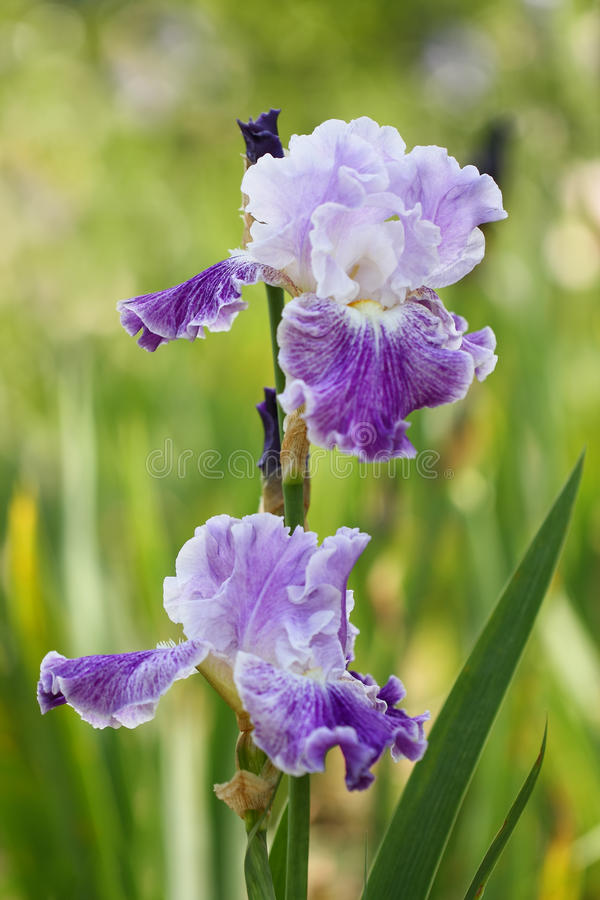 Iris de sorte de costumé photo stock