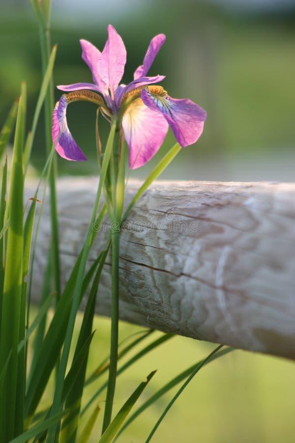 Iris de source images stock