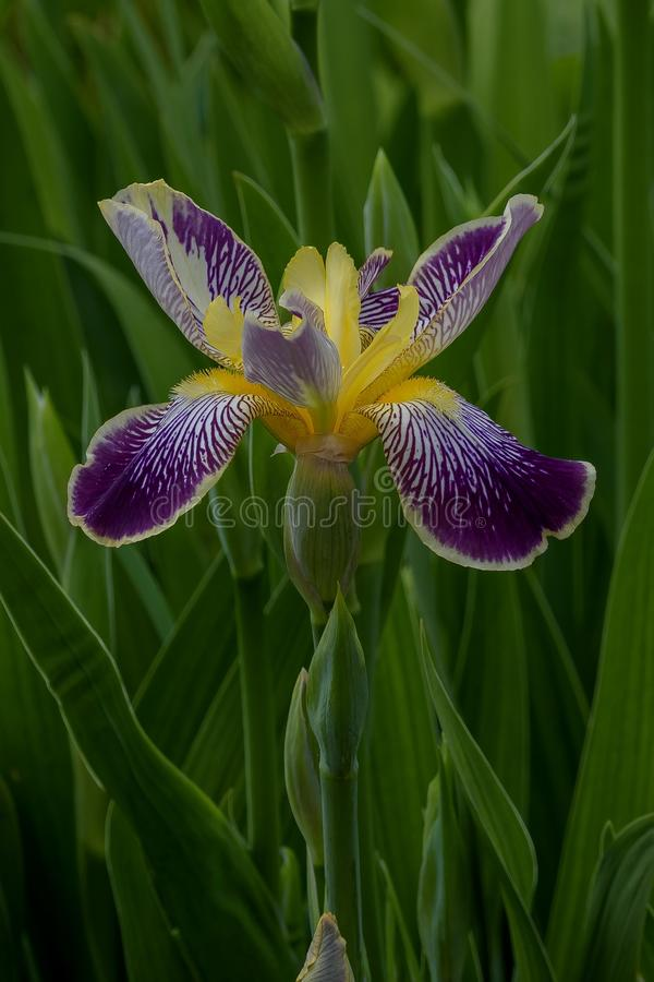 Iris del arco iris imagen de archivo