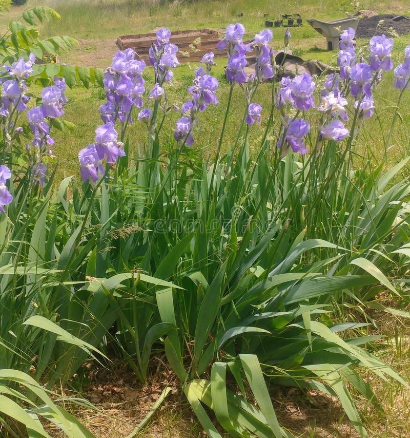 iris del pallida de la herencia foto de archivo