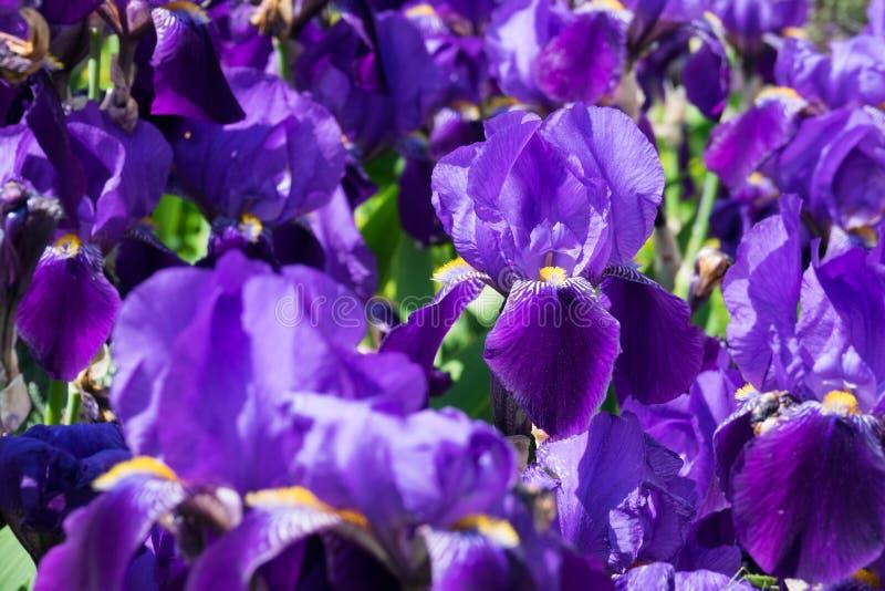 Iris in der Blüte stockfoto