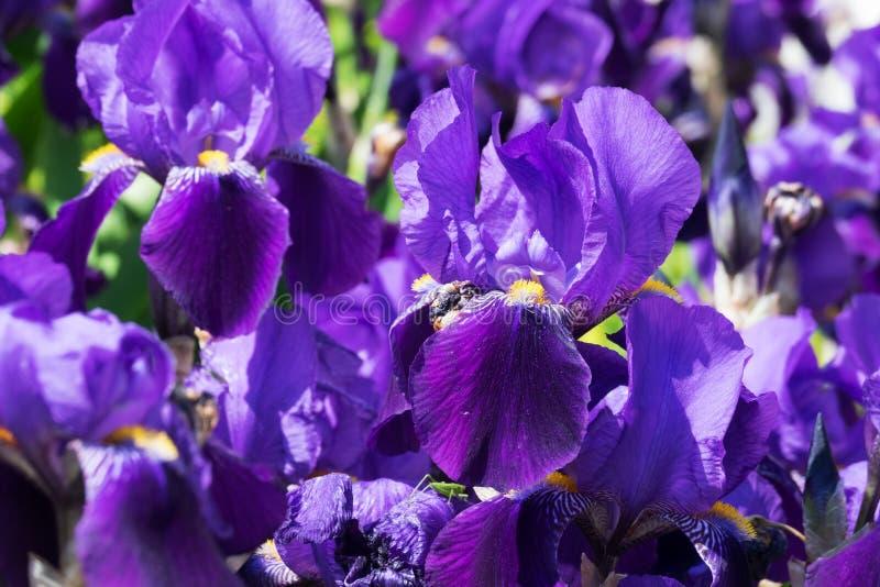 Iris in der Blüte lizenzfreies stockbild