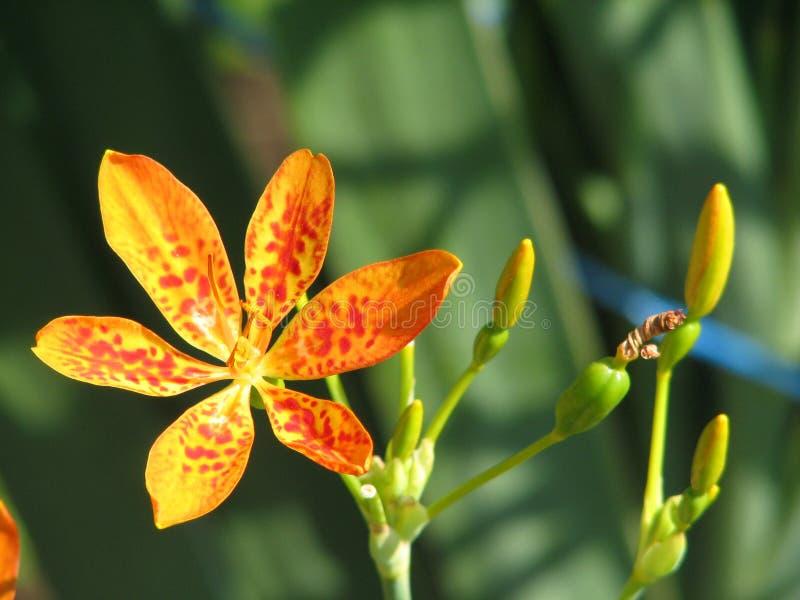 Iris domestica stock images