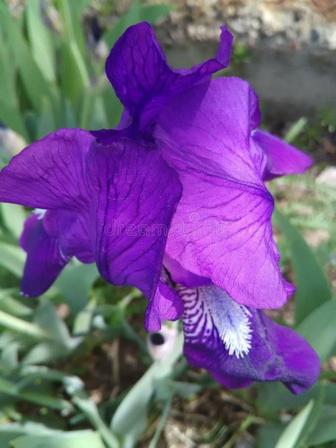 Iris - een bloem van nature gecreeerd, volledig van gunst, tederheid en sterkte royalty-vrije stock foto's