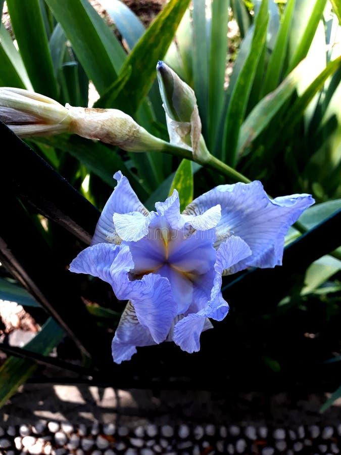 Iris, eine empfindliche Inspiration lizenzfreie stockbilder
