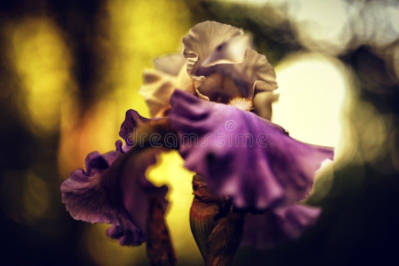 iris embrasé du soleil photo stock