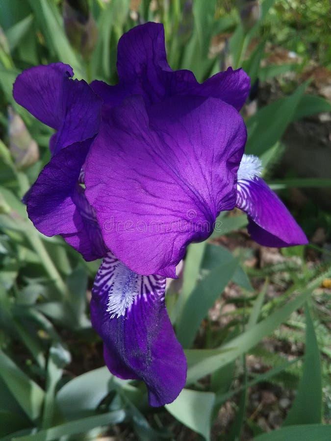 Iris - en blomma som av naturen som skapas ?r full av n?d, mjukhet och styrka fotografering för bildbyråer