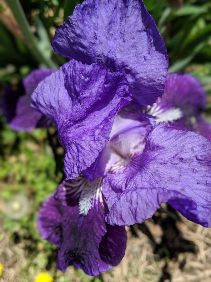 Iris en fleur image libre de droits