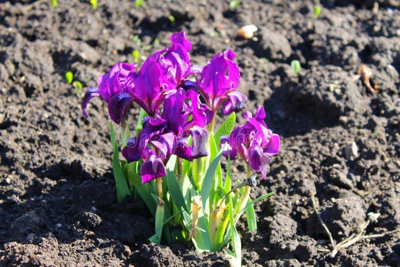 iris enanos púrpuras fotografía de archivo libre de regalías