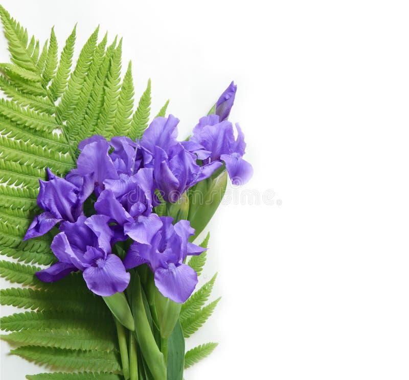 Iris et fougère photo stock