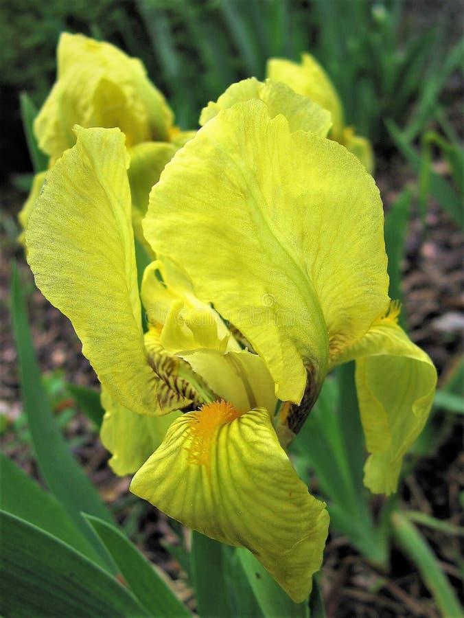 iris Fleur jaune Fleurs d'iris images libres de droits