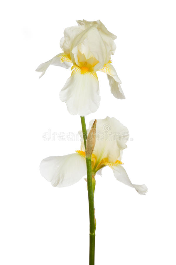 Download Iris flower stock image. Image of hippocrates, cockerel - 20254529