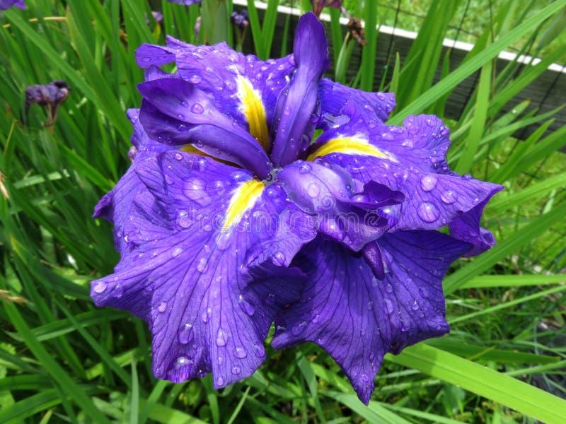 Iris Flower bastante grande a finales de junio en el jardín fotos de archivo libres de regalías