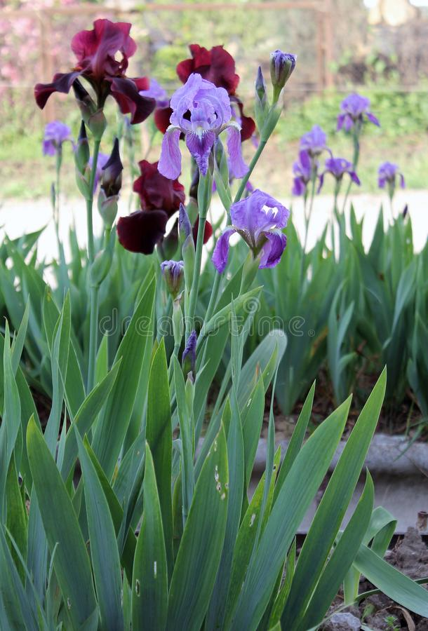 The iris flower. Beautiful purple flower in bloom on a crisp spring morning royalty free stock photo
