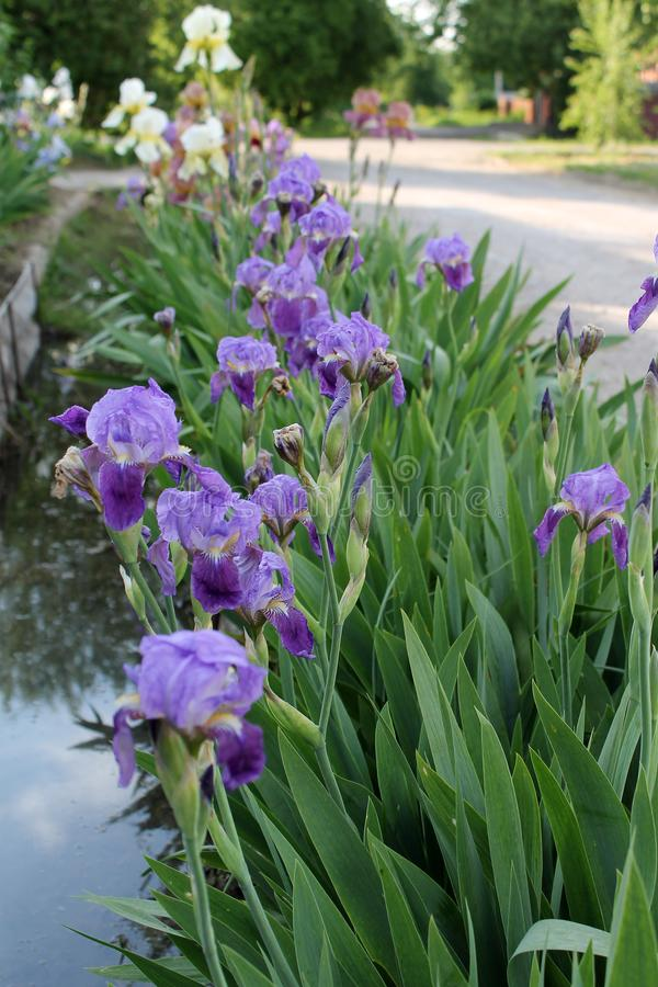 The iris flower. Beautiful purple flower in bloom on a crisp spring morning. Flower iris, lilac petals and green leaves. The iris flower. Beautiful purple flower royalty free stock images