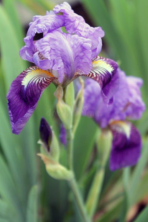 The iris flower. Beautiful purple flower in bloom on a crisp spring morning. Flower iris, lilac petals and green leaves. The iris flower. Beautiful purple flower stock photo